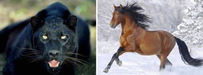 panther horse two shot